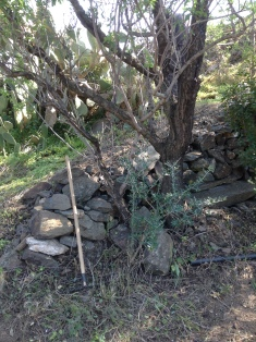 Clearing the prickle trees from around the Almond tree